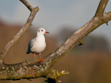9535 Black Headed Gull LL 181112.jpg