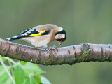 9626 Goldfinch VF 021212.jpg