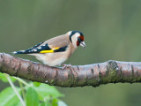9628 Goldfinch VF 021212.jpg