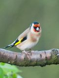 9633 Goldfinch VF 021212.jpg