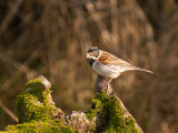 0220 Reed Bunting CL 170213.jpg