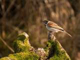 0225 Reed Bunting CL 170213.jpg