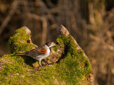 0391 Reed Bunting CL 170213.jpg