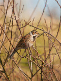 0407 Reed Bunting CL 170213.jpg