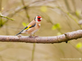 0632 Goldfinch VF 030313.jpg