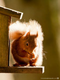 Red Squirrel1.jpg