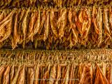 Robaina tobacco drying.jpg
