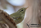 Kamchatka Leaf Warbler 1205.jpg