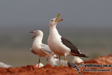 Lesser Black-backed Gull 6509.jpg