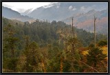 Pines and Larches Forest in Mongkar District.