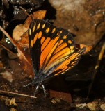 Chirachua Pine White-Female