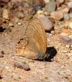 Canyonland Satyr
