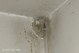 Swiftlet, Edible-Nest (nest)