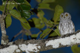Owl, Oriental Scops