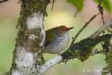 Tailorbird, Common @ Jelai Resort