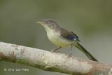 Minla, Blue-winged
