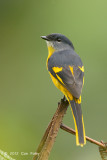 Minivet, Grey-chinned @ Jelai Resort