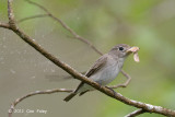 Flycatcher, Asian Brown @ Jelai Resort