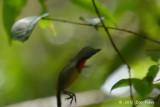 Flowerpecker, Scarlet-breasted (male)