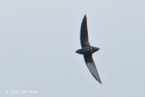 Needletail, Silver-rumped @ Tahan Hide