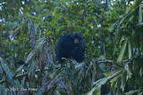 Siamang @ Fraser's Hill