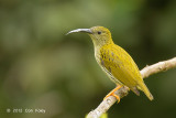 Spiderhunter, Streaked @ Jelai Resort