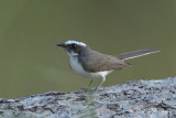 Fantail, White-browed @ Tmatboey