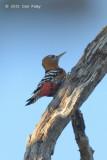 Woodpecker, Rufous-bellied @ Tmatboey