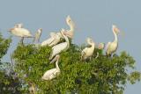 Pelican, Spot billed @ Prek Toal