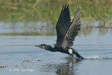 Cormorant, Great @ Tonle Sap