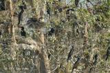 Cormorant, Indian (nesting) @ Tonle Sap