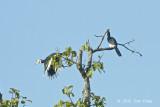 Hornbill, Oriental Pied @ Tmatboey
