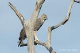 Eagle, Changeable Hawk (pale morph) @ Mt Faber