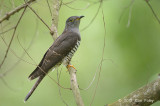 Cuckoo, Indian (male) @ Bidadari