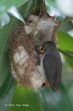 Flowerpecker, Scarlet-backed (female) @ Pasir Ris