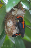Flowerpecker, Scarlet-backed (male) @ Pasir Ris