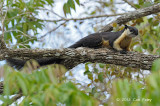 Squirrel, Black Giant @ Khao Yai