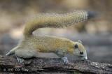 Squirrel, Grey-bellied