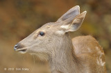 Deer, Samba (female) @ Phu Khieo