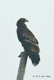 Eagle, Greater Spotted (juvenile) @ Batang Tiga