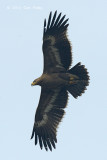 Eagle, Steppe (juv) @ Batang Tiga