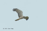 Harrier, Pied (female) @ Batang Tiga