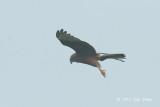 Harrier, Pied (juvenile) @ Batang Tiga