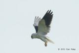 Kite, Black-shouldered @ Batang Tiga