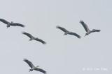 Stork, Asian Openbill