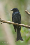 Drongo, Crow-billed (first winter) @ Bidadari