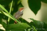 Tailorbird, Rufous-tailed @ Venus Drive