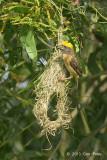 Weaver, Baya (male) @ Jln Gemala 2