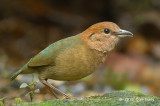 Pitta, Rusty-naped