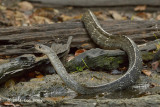 Keeled Rat Snake @ Kaeng Krachan